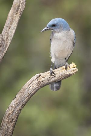 USA, Arizona, Santa Rita Mountains. Mexican Jay Perched on Tree Trunk