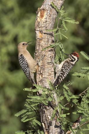 Arizona, Amado. Gila Woodpecker and Ladder-Backed Woodpecker on Tree