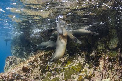 Galapagos Sea Lion Underwater, Galapagos, Ecuador