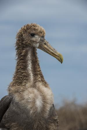 Waved Albatross Juvenile, Espanola Island, Galapagos Islands, Ecuador