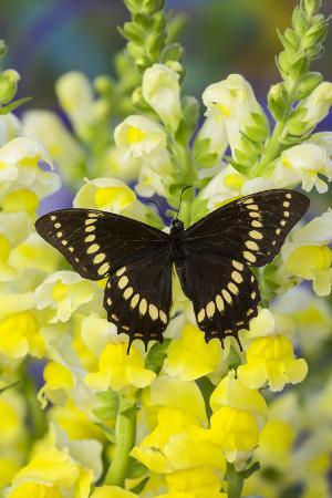 Scamander Swallowtail Butterfly from Brazil, Papilio Scamander