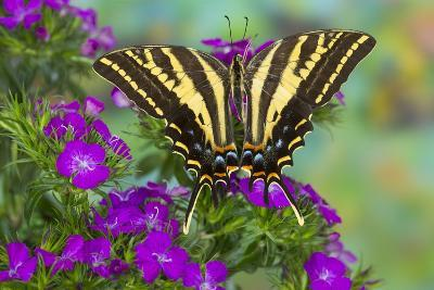 Three-Tailed Tiger Swallowtail Butterfly, Papilio Pilumnus