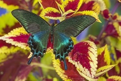 The Common Peacock Swallowtail Butterfly, Papilio Bianor