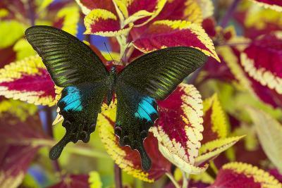 The Common Peacock Swallowtail Butterfly, Papilio Polyctor