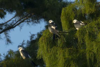 Swallow-Tailed Kites Roosting, Lake Woodruff NWR, Florida