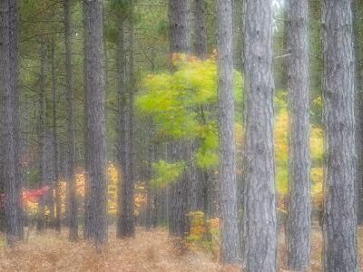 Michigan, Upper Peninsula. Fall Foliage and Pine Trees in the Forest