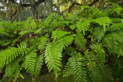 Resurrection Fern, Pleopeltis Polypodioides, Florida