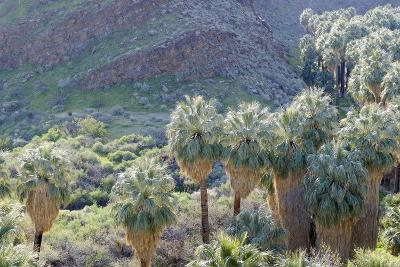 California, Palm Springs, Indian Canyons. California Fan Palm Oasis