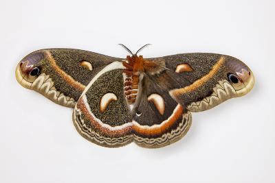 Cecropia Silk Moth Female, Comparing Upper and Underside Wings