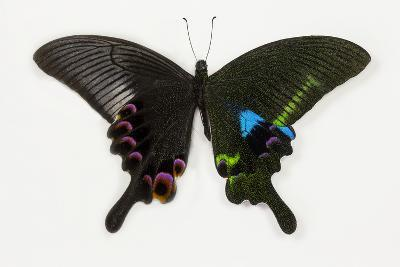 The Blue Peacock Swallowtail Butterfly, Top and Bottom Wing Comparison