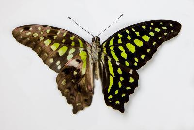The Tailed Jay Butterfly, Comparing the Top and Bottom Wings