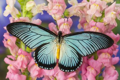 African Giant Blue Swallowtail Butterfly, Papilio Zalmoxis