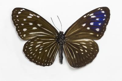Striped Blue Crow Butterfly Female, Comparing the Top and Bottom Wings
