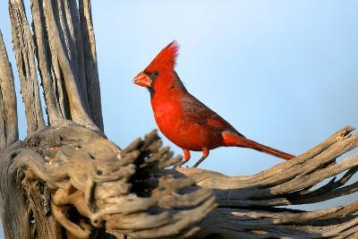 Northern Cardinals (Cardinalis Cardinalis) in the Family Cardinalidae