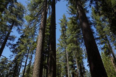 Trees at Tuolumne Sequoia Grove, Crane Flat, Yosemite NP, California