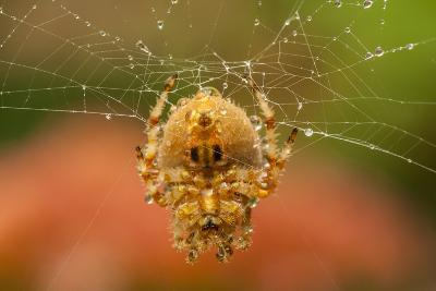 USA, Colorado, Jefferson County. Orb-Weaver Spider on Web