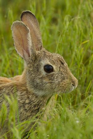 Colorado, Rocky Mountain Arsenal. Side Portrait of Cottontail Rabbit