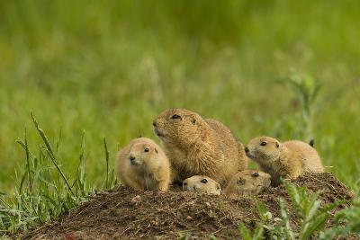 Colorado, Rocky Mountain Arsenal NWR. Prairie Dog Family on Den Mound
