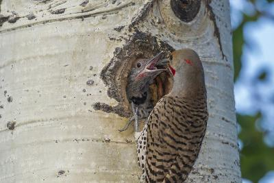 USA, Colorado, Rocky Mountain NP. Red-Shafted Flicker Feeds Nestling