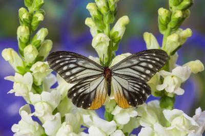 Butterfly Calinaga Buddha, the Freak