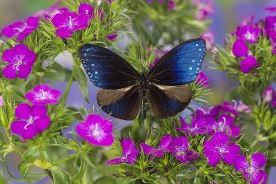 Blue Crow Butterfly, Euphoea Mulciber Subvisaya