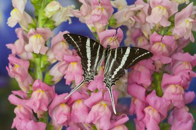 Rhesus Swallowtail Butterfly, Graphium Rhesus