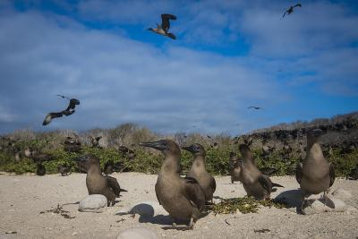 Red-Footed Booby Juvenile, Galapagos Islands, Ecuador