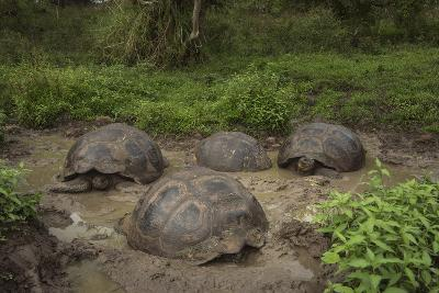 Galapagos Giant Tortoise Santa Cruz Island Galapagos Islands, Ecuador