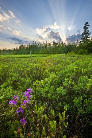 Rhodora Blooms in a Bog in New Hampshire's White Mountains