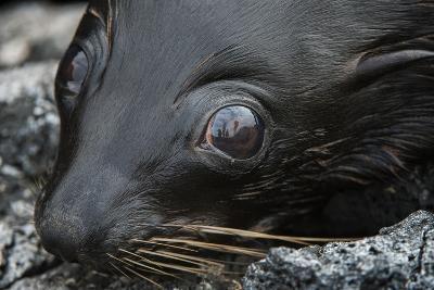 Galapagos Fur Seal, Galapagos Islands, Ecuador