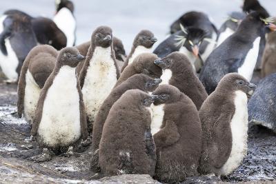 Rockhopper Penguin Chicks in Creche or Kindergarten