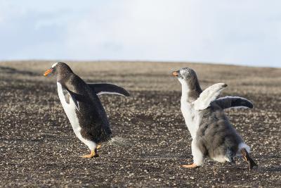 Falkland Islands. Gentoo Penguin Chicks Only Fed after a Wild Pursuit