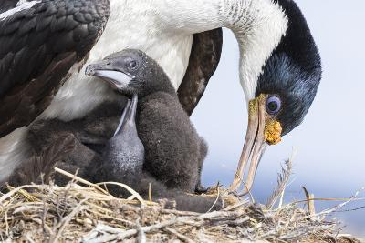 Imperial Shag in a Huge Rookery. Adult with Chick in Nest