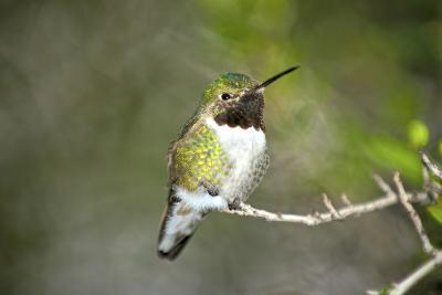 A Ruby-Throated Hummingbird, One of the Most Common of the Hummers