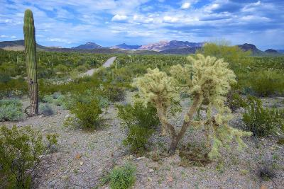 Organ Pipe Cactus NM, Saguaro and Cholla Cactus in the Ajo Mountains