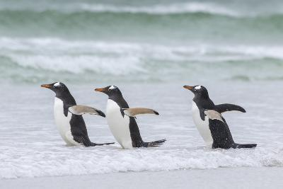 Gentoo Penguin on the Falkland Islands, Walking into the Surf