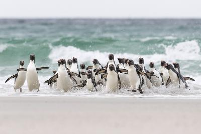 Rockhopper Penguin. Landing as a Group to Give Individuals Safety