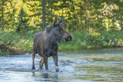USA, Colorado, Rocky Mountain NP. Male Moose Crossing Colorado River