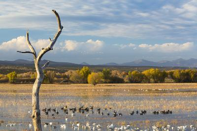 New Mexico, Bosque del Apache NWR. Canada and Snow Geese in Water