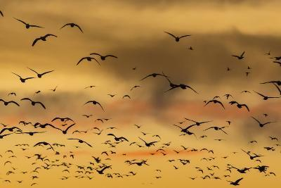 New Mexico, Bosque del Apache NWR. Snow Geese Flying at Sunset