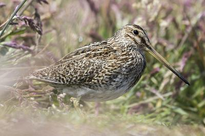 South American Snipe or Magellan Snipe in Dense Grass