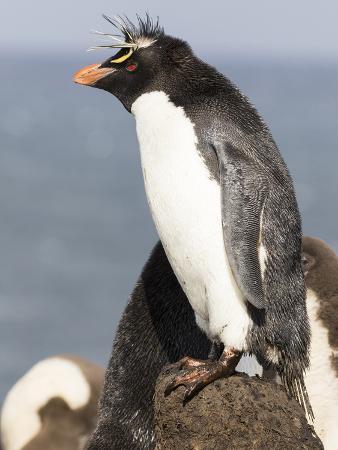 Rockhopper Penguin. Falkland Islands