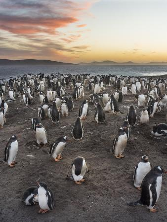 Gentoo Penguin (Pygoscelis Papua) on the Falkland Islands, Rookery