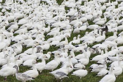 New Mexico, Bosque del Apache NWR. Snow Geese Flock on Grass