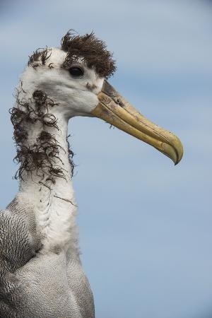 Waved Albatross, Espanola Island Galapagos Islands, Ecuador, Endemic