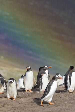 Gentoo Penguin on the Falkland Islands, Rookery under a Rainbow