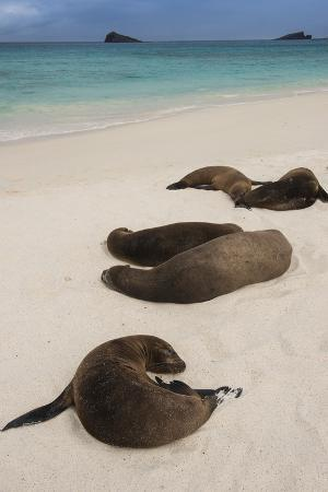 Galapagos Sea Lions Gardner Bay, Hood Island, Galapagos, Ecuador