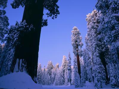 Giant Sequoias in Round Meadow, Sequoia Kings Canyon NP, California