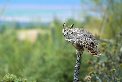 The Great Horned Owl, also known as the Tiger Owl