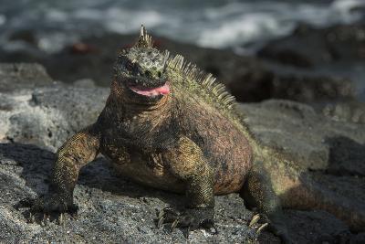 Marine Iguana, Fernandina Island, Galapagos Islands, Ecuador